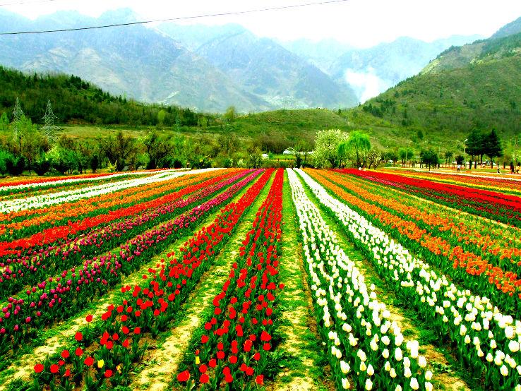 Tulip Garden festival